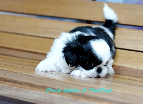 miniature shih tzu full grown braiden teacup shih tzu male once upon a teapup 3259