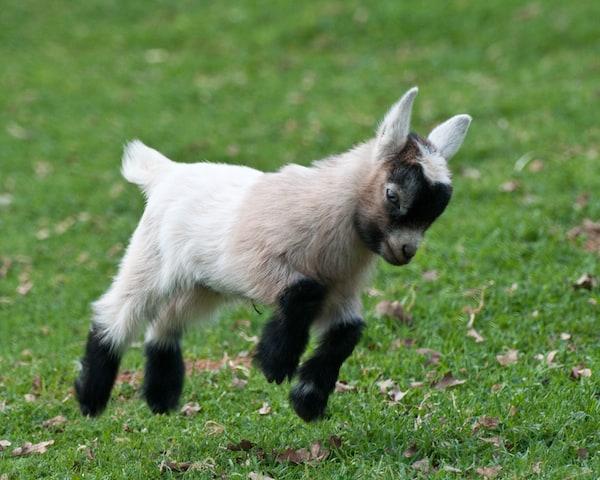 Baby Goat Gif Baby pygmy goa.